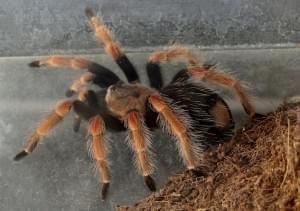 macro tarantula spider on the ground